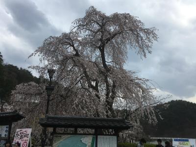 公園入口側桜