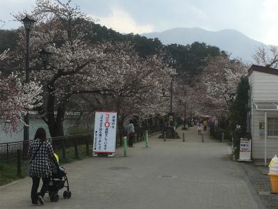 通路桜咲き具合
