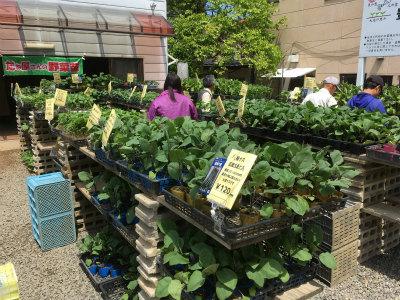 野菜苗販売1