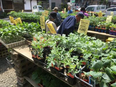 野菜苗販売3
