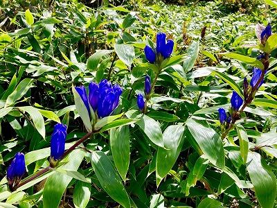 五味池破風高原リンドウの開花状況