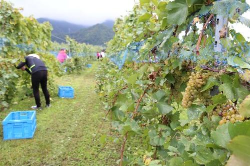 信州須坂ワインぶどう収穫体験&ドライフルーツ作り体験参加者募集!
