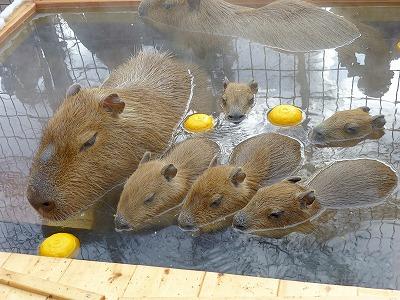 須坂市動物園 カピバラ温泉「華の湯」開催します