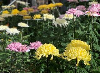 湯っ蔵んどで菊花展が始まりました!